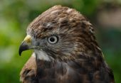 Broad-winged Hawk (buteo Platypterus) Head