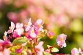 picture of begonias  - Beautiful bouquet of pink begonias flower  - JPG
