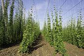 Hop crop rows