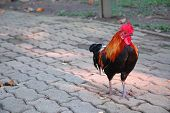 Young Free-range Rooster on Footpath