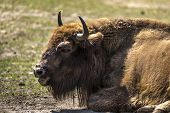 Bison - Animals That Live In Nature Reserves In Europe