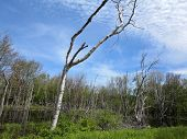 Dead Trees In Forest With Pond
