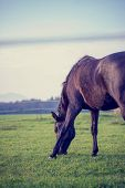 Retro Image Of Brown Horse Grazing In A Lush Green Pasture