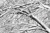 stock photo of backwoods  - Winter branches of trees in hoarfrost on background snow and white sky - JPG