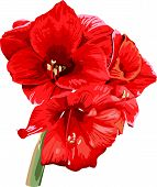 isolated detailed image of amaryllis flower on a stem in waterco