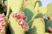 stock photo of nopal  - Ripe Prickly pair cactus and violet fruit - JPG