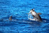 Dolphin catches dinner