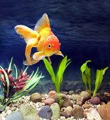 stock photo of fantail  - Aquarium native hardy fancy gold fish Red Fantail - JPG