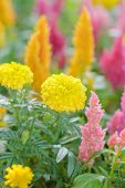 stock photo of celosia  - Plumped Celosia Flower In The Garden image - JPG