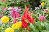 image of celosia  - beautiful plumped celosia flower in the garden