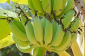 Bananas On A Banana Tree