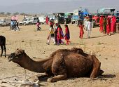Pushkar, November 28 2012: Camel Sit On The Sand At Pushkar Camel Fair In India With People In The B