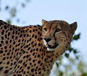 Wildlife In Africa: Cheetah