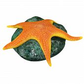 stock photo of echinoderms  - Echinoderms are a phylum of marine animals - JPG