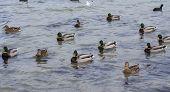 Ducks Float In Water