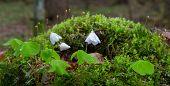 pic of sorrel  - Wood - JPG