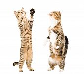 foto of scottish-fold  - Two cats  Scottish Straight and Scottish Fold together standing on his hind legs - JPG