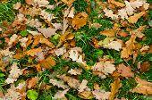 Yellow oaken leaf on earth