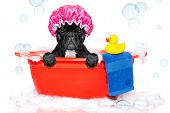 pic of ducks  - french bulldog dog in a bathtub not so amused about that with yellow plastic duck and towel covered in foam isolated on white background wearing a bathing cap - JPG
