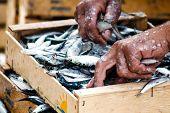 Fisherman packing fresh fish in wooden box