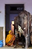 Old Indian Woman With A Cow