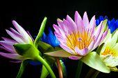 Multi-colored Lotus