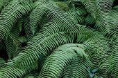 stock photo of darjeeling  - Green branches of fern overlapping each other - JPG