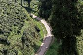 picture of darjeeling  - View over famous Tea plantation Darjeeling India - JPG