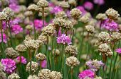 Pink And Brown Armeria Flowers