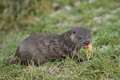 Young Otter On Grass Bank Eating