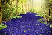 Beautiful Purple Muscari