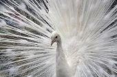 White Peacock in Full Display