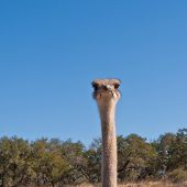 Head Of Ostrich Against Blue Sky