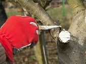 Closeup of gardener's hand protecting pruned apple tree branch with white wound paint