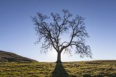 Leafless California White Oak in winter.