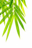 picture of bamboo leaves  - High resolution image of bamboo - JPG