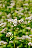 picture of buckwheat  - White flowers of buckwheat on the background of green leaves on the buckwheat field - JPG