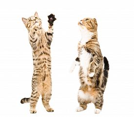 pic of scottish-fold  - Two cats  Scottish Straight and Scottish Fold together standing on his hind legs - JPG