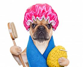 image of bulldog  - french bulldog dog having a spa or wellness treatment with shower cap isolated on white background - JPG