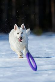 foto of frisbee  - White dog running after a frisbee in wintertime - JPG