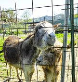 stock photo of donkey  - two donkey in a meadow in la spezia - JPG