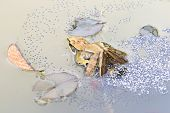 foto of laying eggs  - Taipei grass frog laying eggs in the pond in spring - JPG