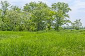 picture of may-flower  - Green field and flowering acacia trees on a background of blue sky with clouds on a sunny day in May - JPG