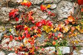 foto of creeper  - Autumnal leaves of creeper plant on a stone wall - JPG