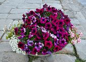 image of petunia  - Bright petunia and alissum flowers in a stone flowerpot - JPG