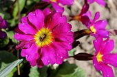 picture of petunia  - Beautiful colorful bright petunia - JPG