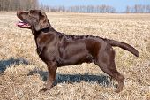 stock photo of labradors  - Chocolate labrador retriever puppy  - JPG