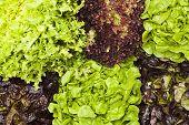 image of escarole  - Assortment of Lettuces - JPG