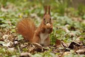 picture of eat grass  - close up of squirrel eating walnut in grass - JPG