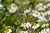 foto of chamomile  - beautiful colors of chamomile and grass in spring